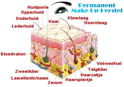 PMU huid anatomie